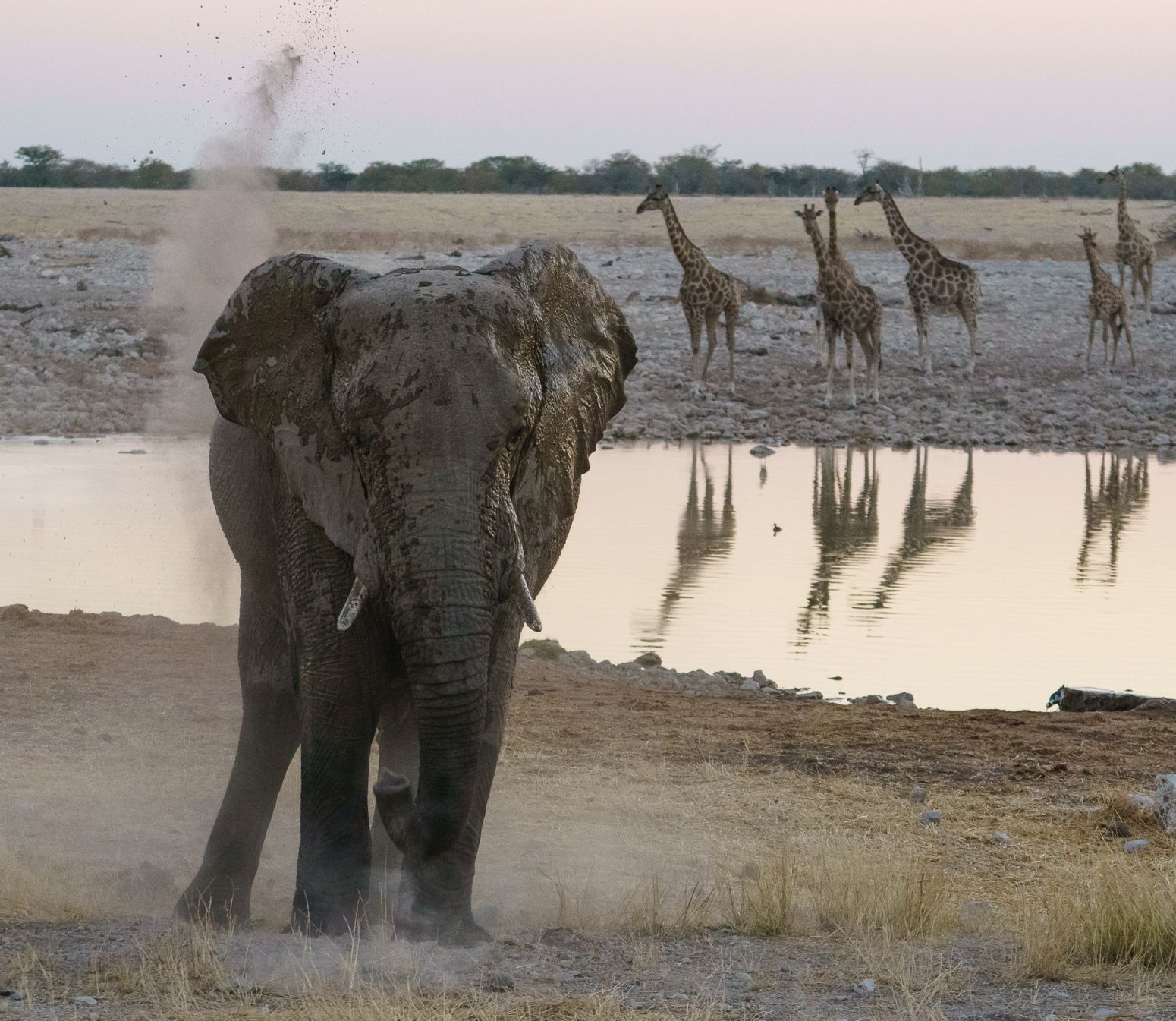 Elephant at Okaukuejo Waterhole, Etosha National Park, Namibia