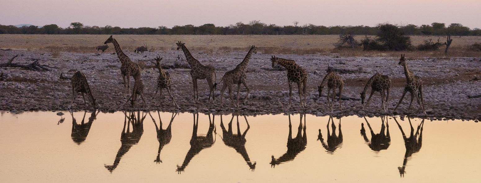 Giraffes drinking at Okakuejo Waterhole, Etosha National Park, Namibia