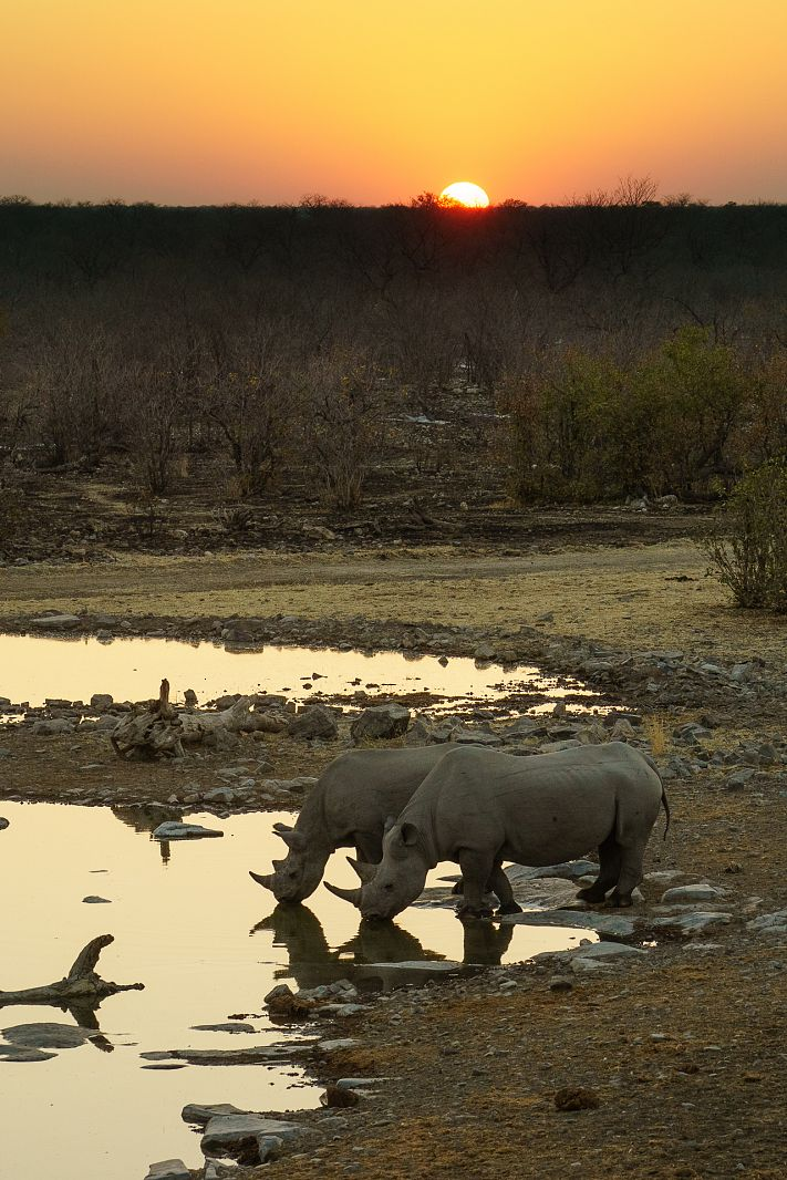 Rhinos drinking at Moringa Waterhole, Etosha National Park, Namibia
