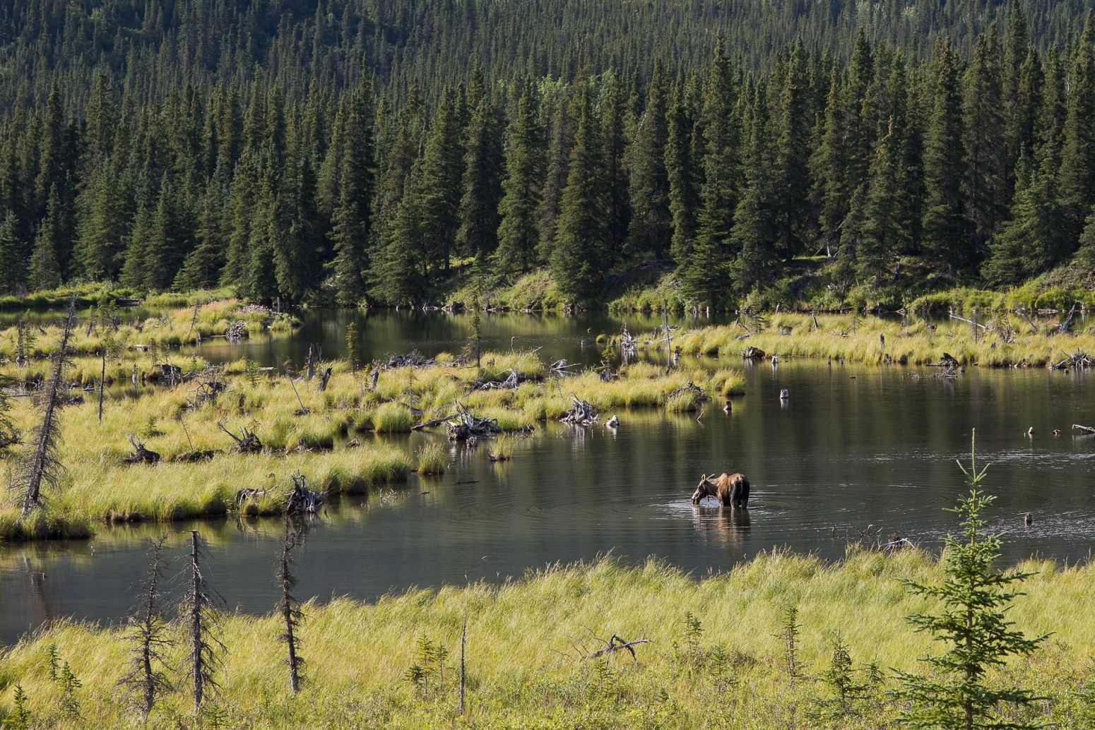 A moose taking a swim in Denali NP, Alaska, USA