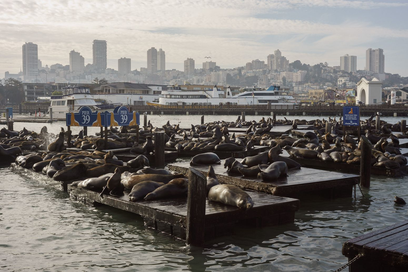 Sea lions at Pier 39, San Francisco, California, USA