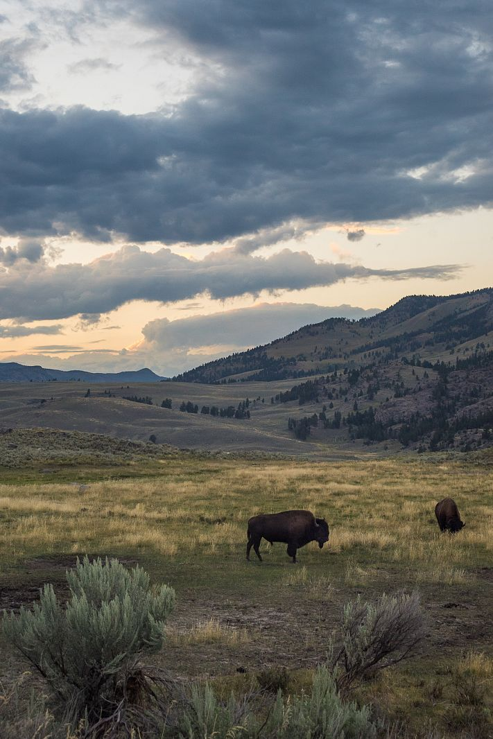 Bisons in Lamar Valley, Yellowstone NP, Wyoming, USA