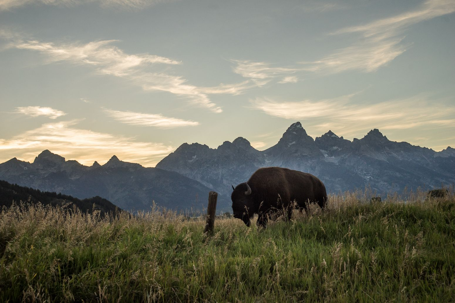 Bison in Grand Teton NP,  Wyoming, USA